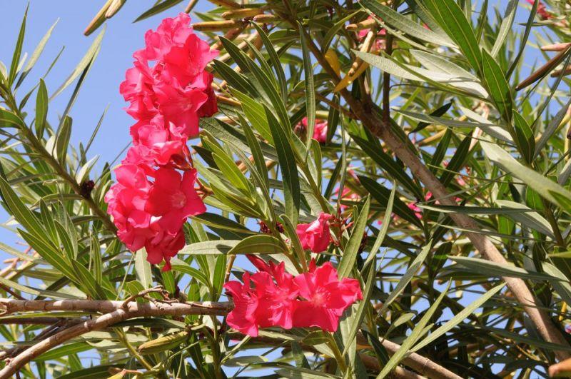 bloem-roze